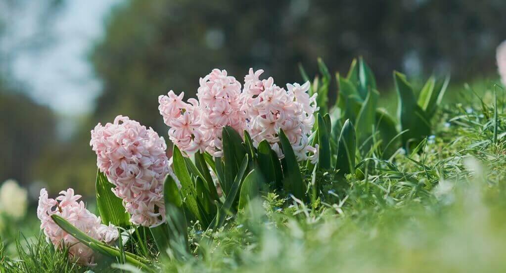 kwiaty do ogrodu hiacynty