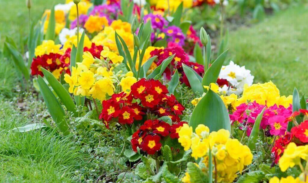 kwiaty do ogrodu pierwiosnki
