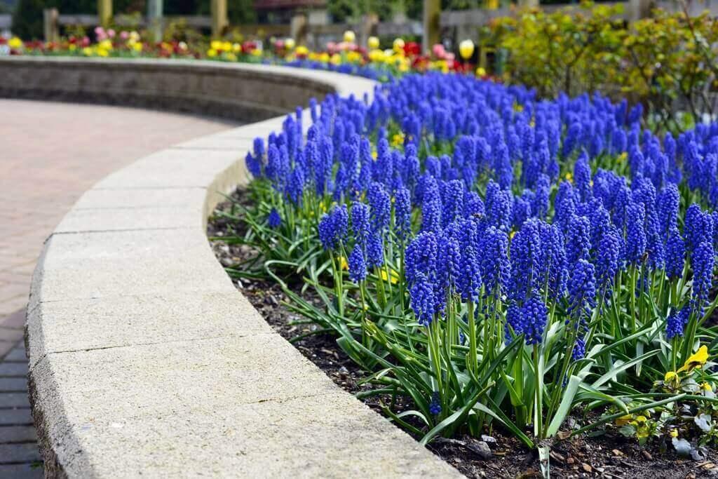 kwiaty do ogrodu szafirki