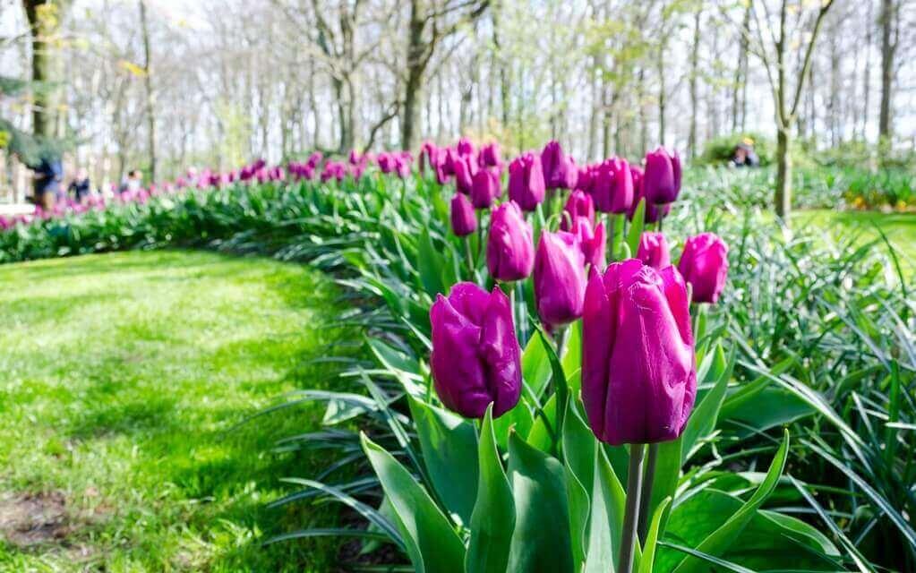 kwiaty do ogrodu tulipany